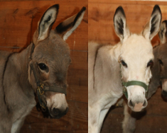 Miniature donkeys named Gronk and Brady