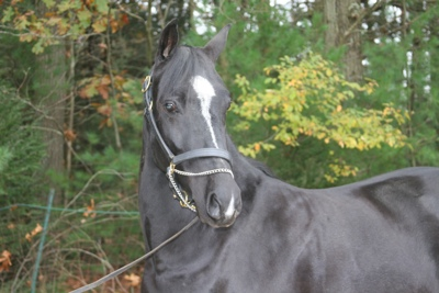 "Claire Campbell""s new Morgan horse ""Oakrun New York Dark Nite"""