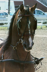 a driving horse in harness