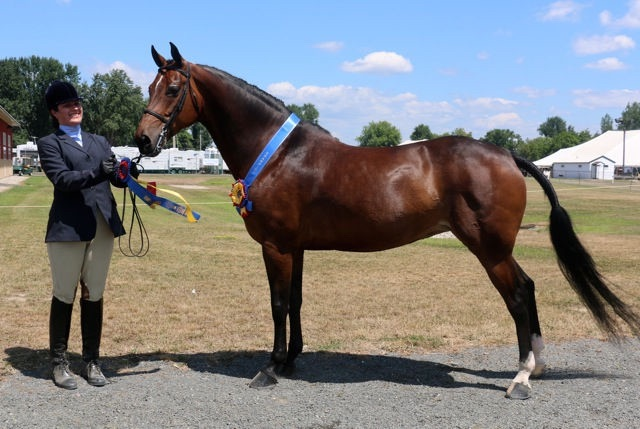 New England Morgan Horse Show 2016 - won In Hand Championship