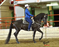 Morgan gelding for sale - a horse driving competition